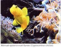 Жёлтый креветочный бычок (Cryptocentrus cinctus)