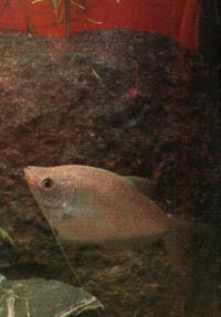 Жемчужный гурами (Tricogaster leeri)