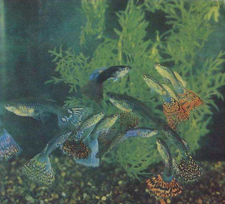 Живородящие рыбы в декаративном аквариуме, гуппи