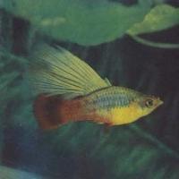 Живородящие рыбы в декаративном аквариуме, пелиция многоцветная