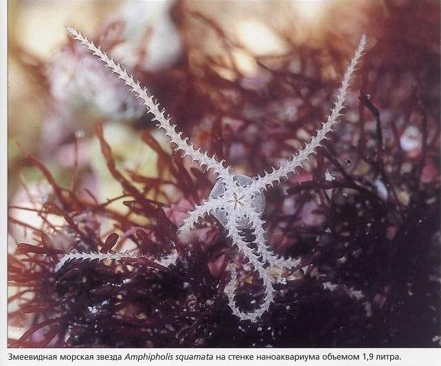 Змеевидная морска звезда Amphipholis squamata