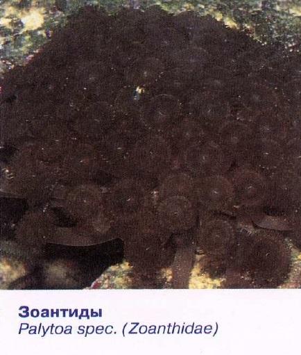 Зоантиды