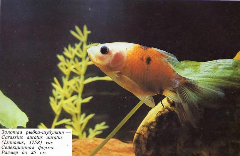 Золотая рыбка-шубункин