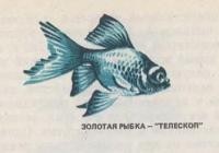 Золотая рыбка-телескоп