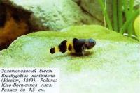 Золотополосый бычок