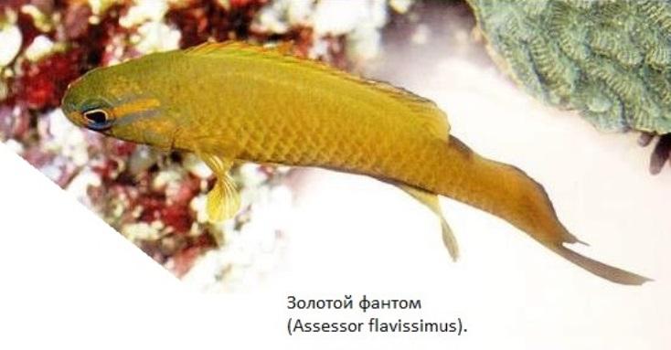 Золотой фантом (Assessor flavissimus)