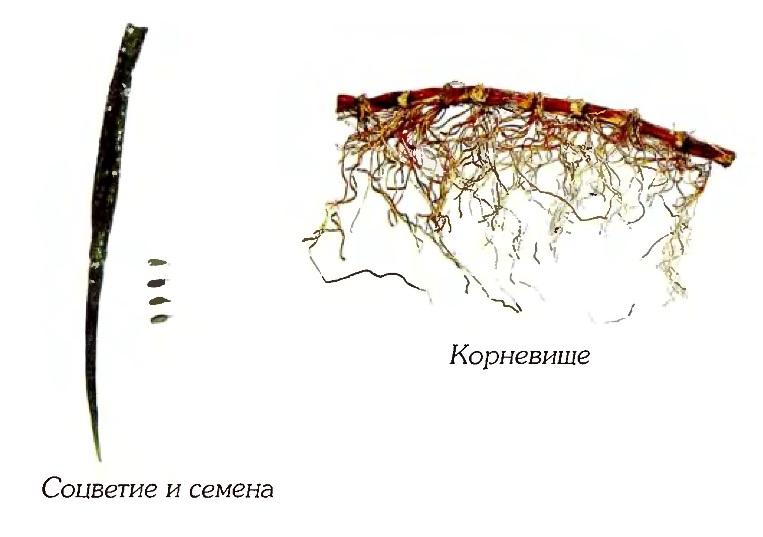 Зостера морская (фрагменты)